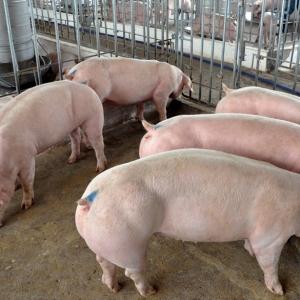 Biện pháp quản lí và phòng bệnh trong chăn nuôi heo