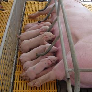 Chăm Sóc Lợn Mẹ Khi Đẻ & Cho Con Bú