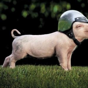Hội chứng suy dinh dưỡng ở lợn