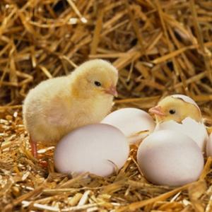 Kỹ thuật chăn nuôi gà giai đoạn đẻ