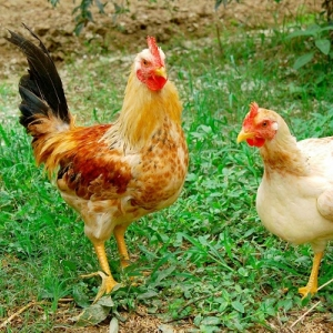 Kỹ thuật nuôi gà ta nhanh lớn